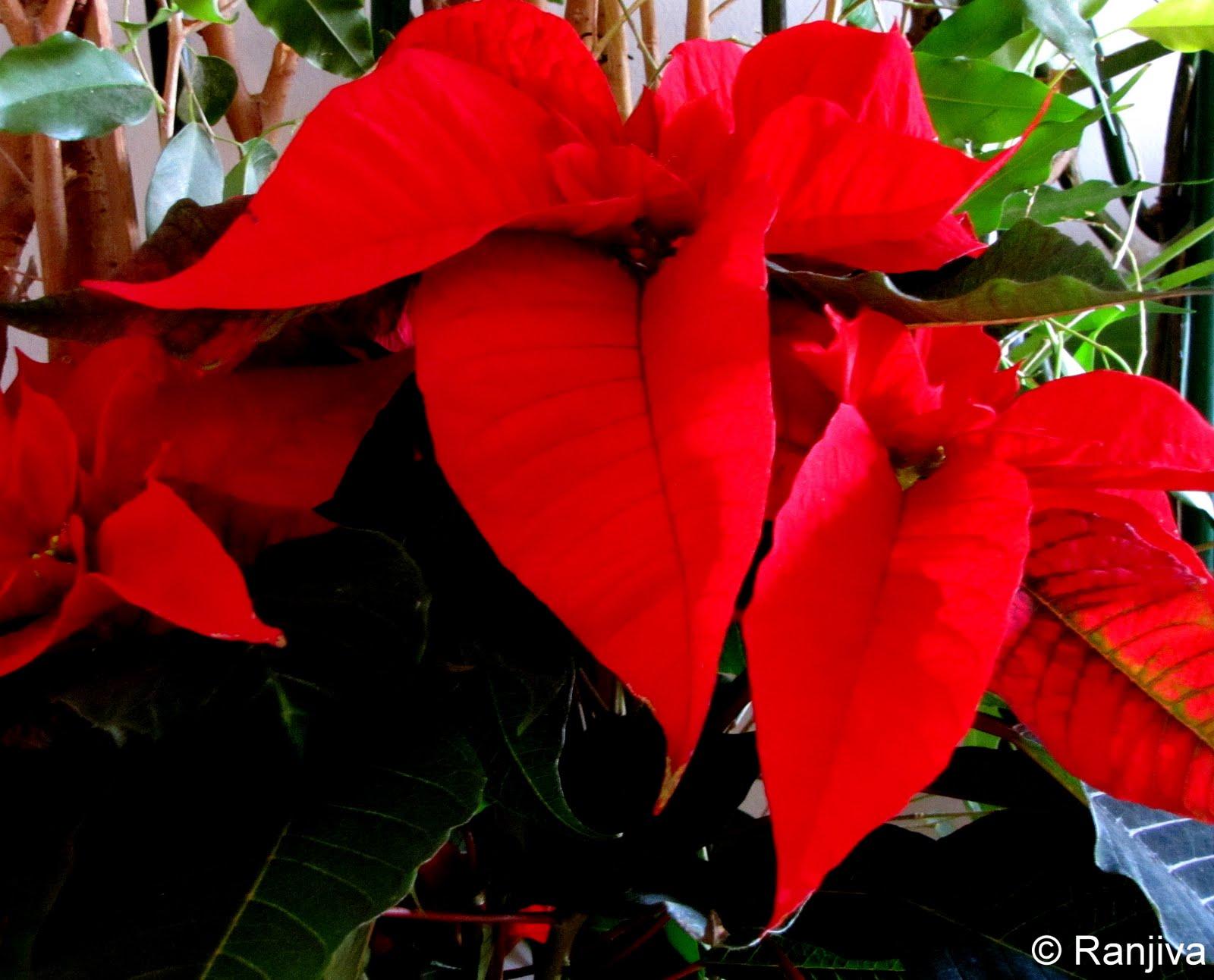 Le Poinsettia Rouge Fleur De L Ile Rouge Paysages Et Fleurs Au