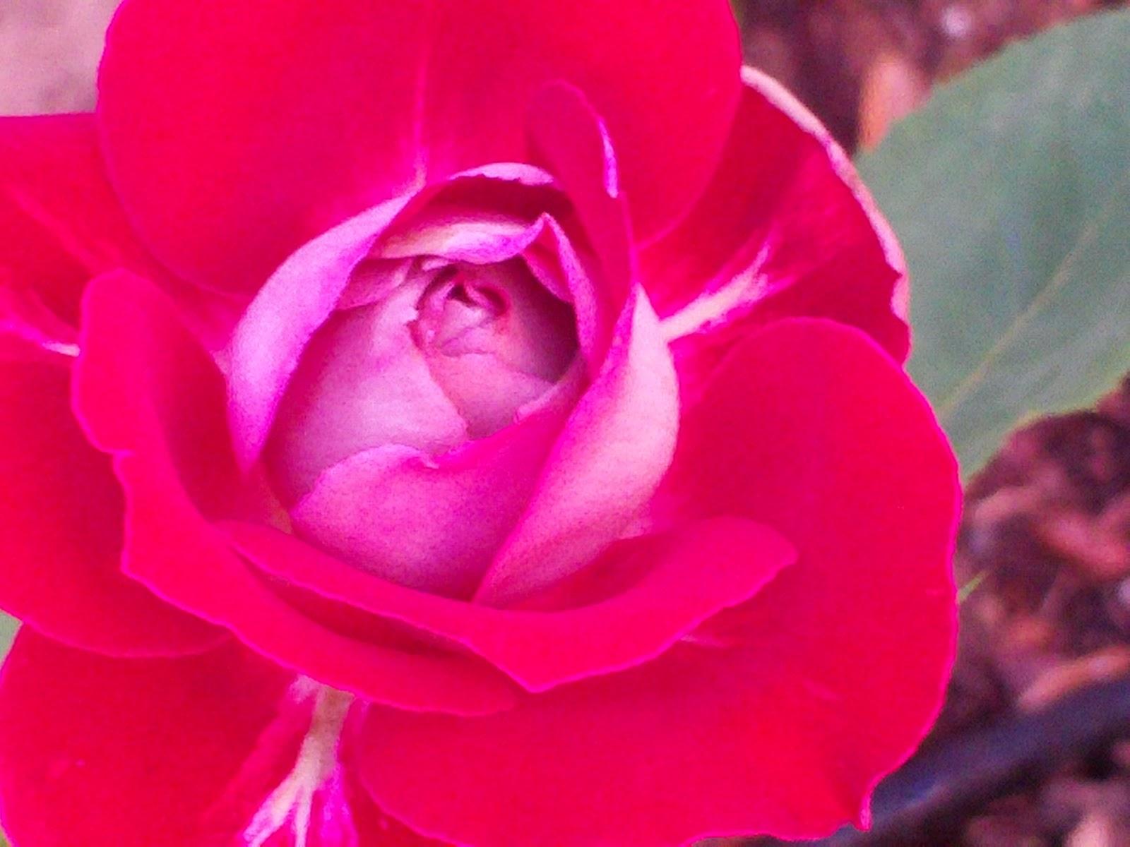 Las Aventuras Hybrid Tea Roses