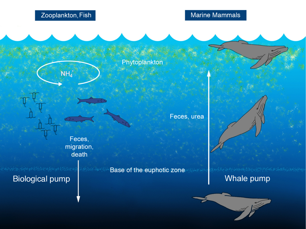diagram shows how nutrients from whale dung move through the ocean    Ocean Ecosystem Diagram