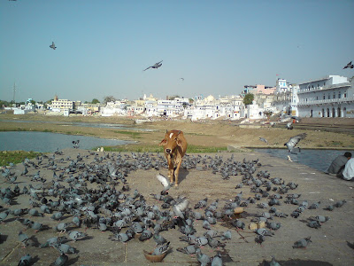Cow at the Varah Ghat, Pushkar