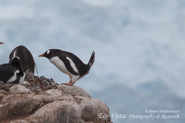 Manchot papou (Pygoscelis papua) envoyant la purée sur l'île de Goudier (Archipel Palmer, au large de la péninsule Antarctique). C'est au photographe néo-zélandais Brent Stephenson qu'est revenu le privilège de pouvoir fixer cet instant avec son téléobjectif.