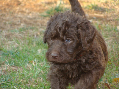 Cute Close Up of a Labradoodle Puppy ~ Labradoodle Pictures