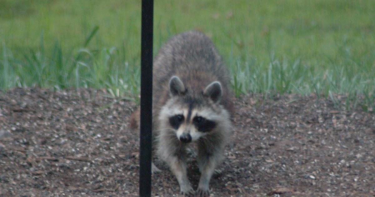 Raccoon Eating Dog Food