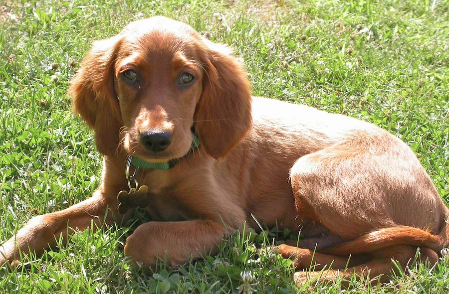 Irish Setter Dog Puppies