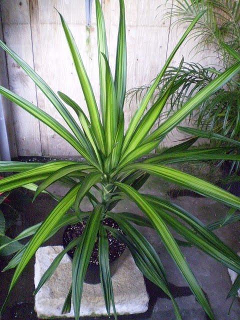 Plants Are The Strangest People It Girl Dracaena Reflexa