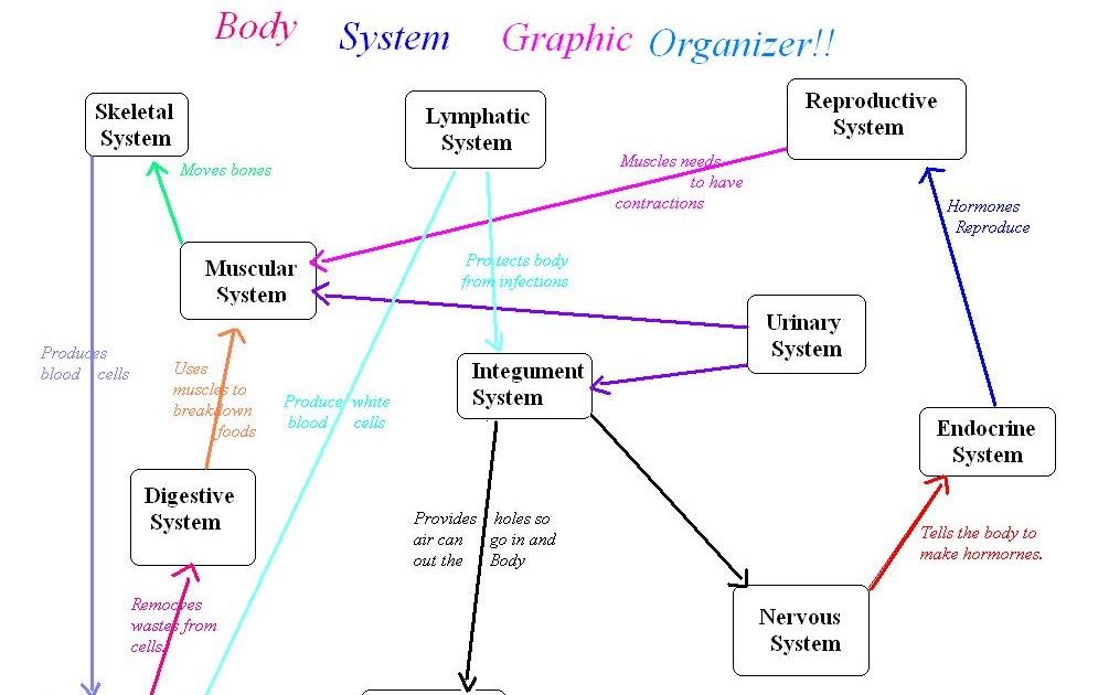 Erin Anatomy Body System Graphic Organizer