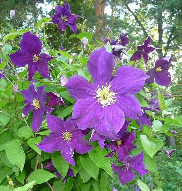 Trädgård och lite annat: Tid för klematis