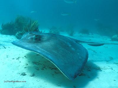 the right blue stingrays dangerous or not