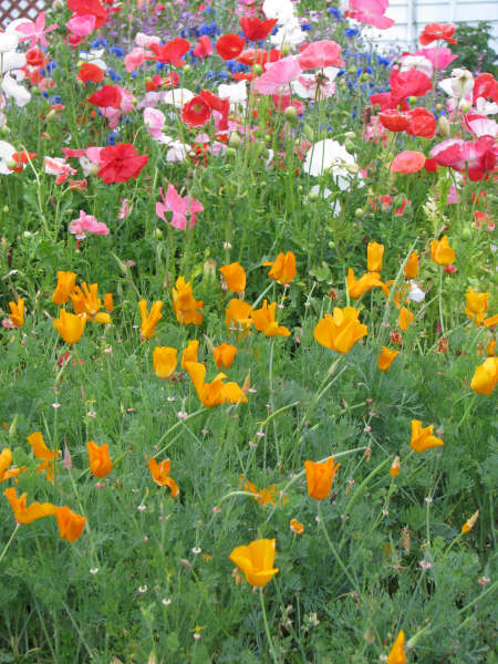 Poppies & Bachelor Buttons