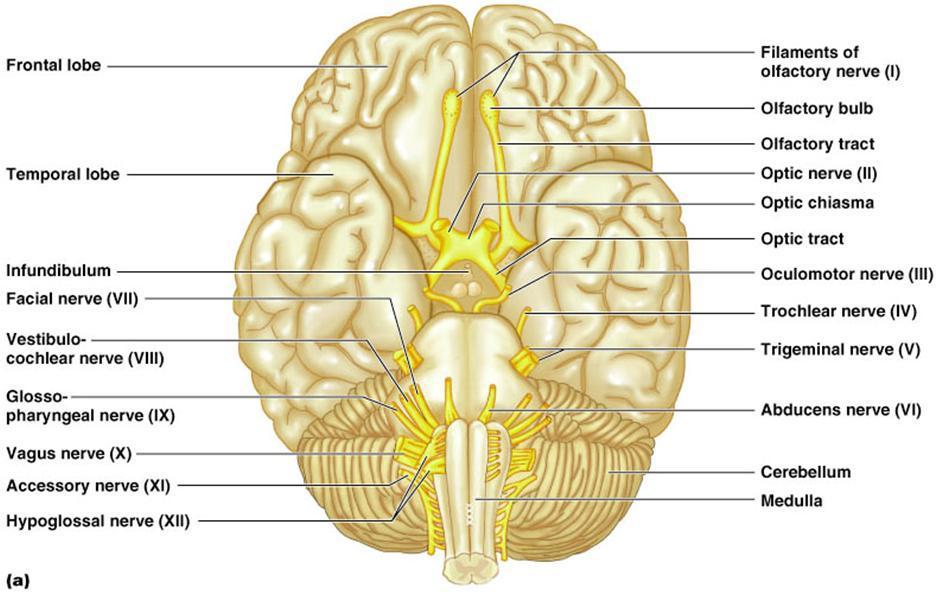 TooSogiE Medical Images: Cranial Nerves : X - XII