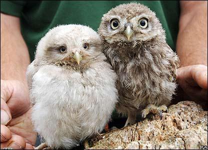 Cute baby white owl - photo#49
