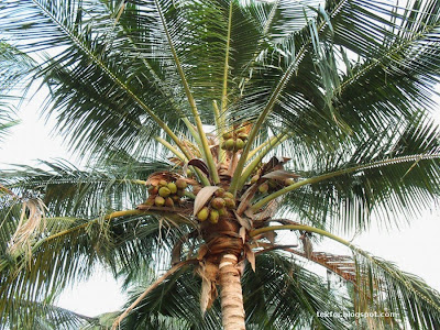 Closeup view of a coconut tree