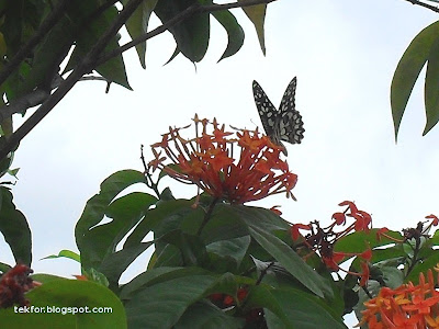 Butterfly on Ixora flower.