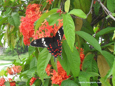 Black and red colored Butterfly on ixora flower. (Swallow Tail)