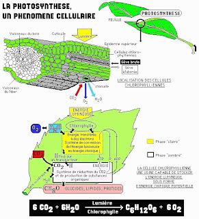 Anabolismo: fotosíntesis