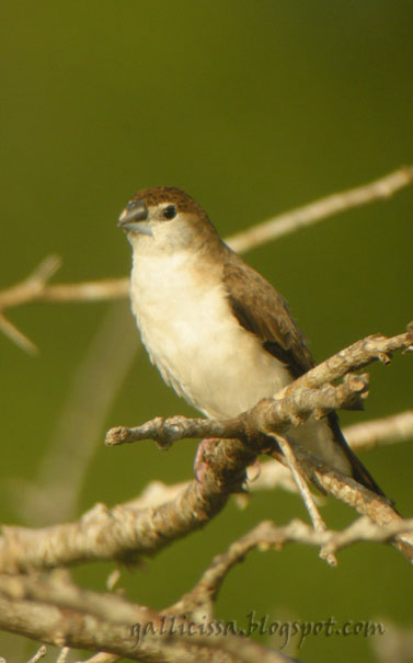 Indian Silverbill