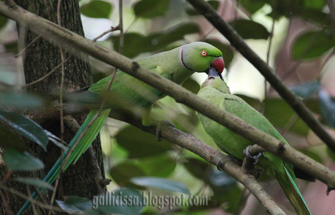 Rose-ringed Parakeets french kissing in my home garden today