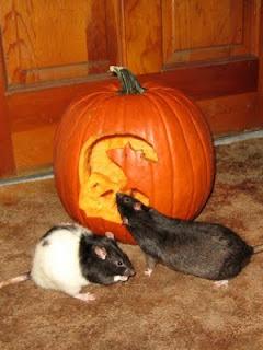 Hasil carian imej untuk tikus baiki labu