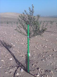 Plantación de olivos usando Tutorolivo verde