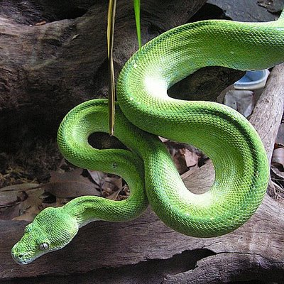 Anaconda Snake Wallpaper Hunting Hungry Anaconda Snake