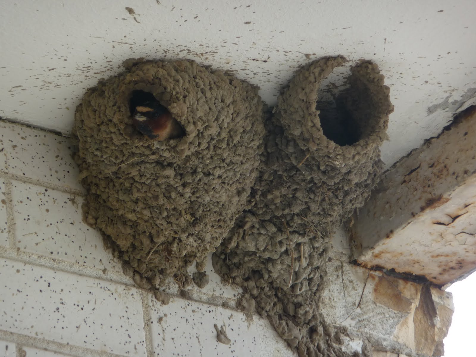 Mud Swallow Nests 86
