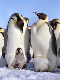 初三 世界地理知識: 皇帝企鵝同其他企鵝有咩分別?