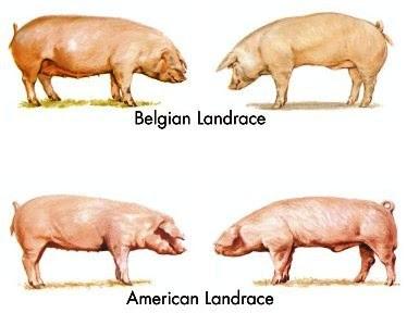 Cerdo y Cerda American y Belgian Landrace para prolificidad