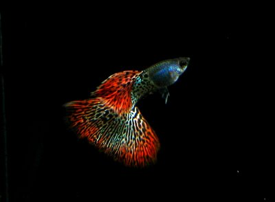 Kinds of Ornamental Fish: Is Guppy The Result of Genetic ...
