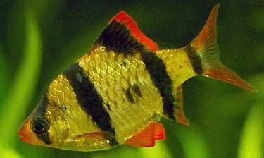 Tiger Barb Aquarium Fish