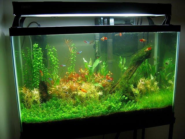 Tropical Fish Tank Maintenance Brown Algae 2017 Fish