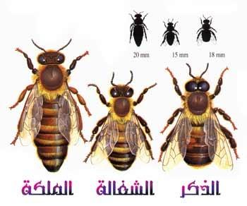 دورة تربية النحل