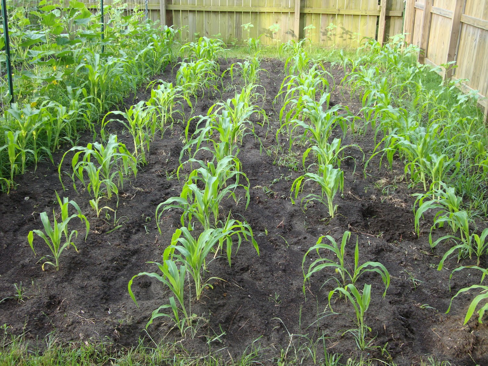 Back Yard Organic Vegetables: Preparation for and Planting ...