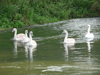 Picture of Swans on the River Test Hampshire-Best online gardening inspiration