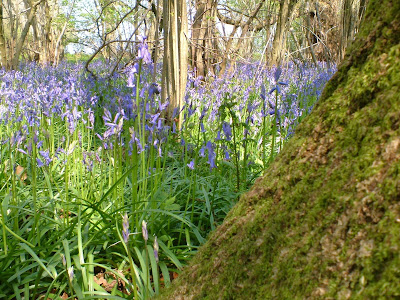 Bluebells in Ancient English Woodlands
