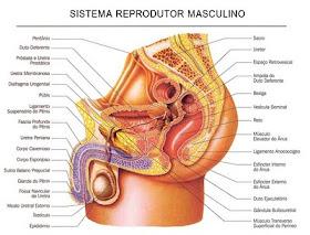 veias torcidas inchadas perto dos testículos