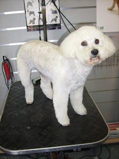 El Caniche Toy Mucho Mas Que Una Mascota La Higiene Del Caniche