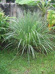 Cymbopogon (lemongrass)
