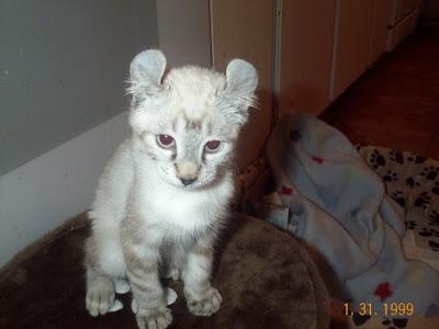 Savannah Cat Highlander CatRare Domestic Cats