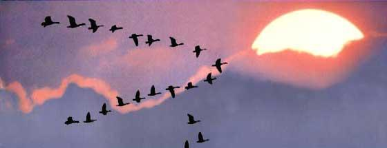 Resultado de imagen para vuelo en v de los patos
