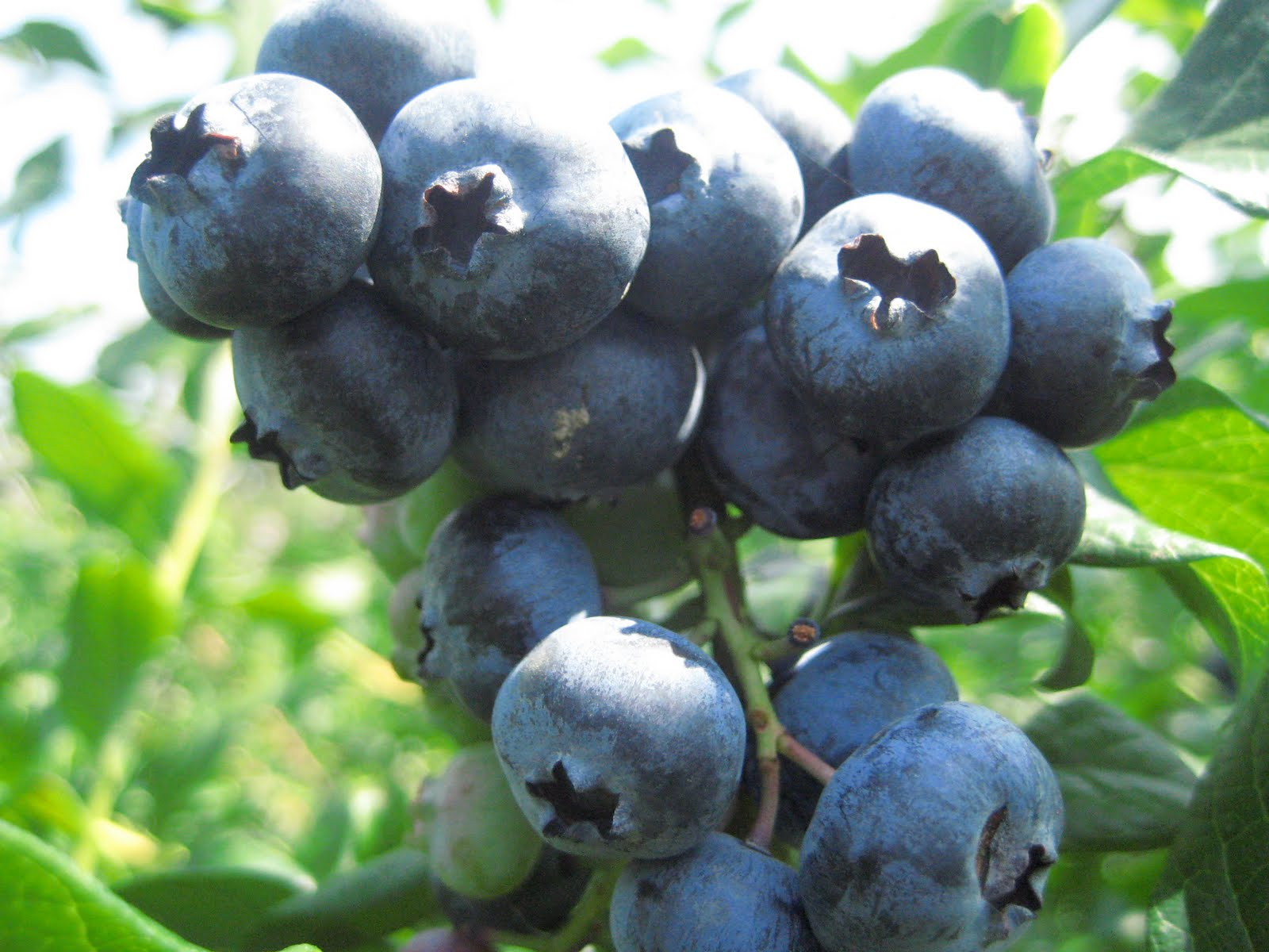 What Julia Ate: Blueberry Jam with Pineapple Mint and ...