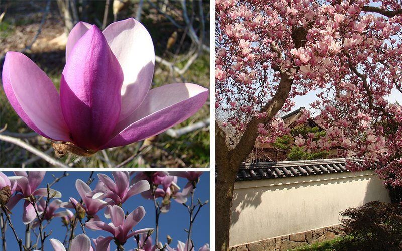 [magnolia.jpg]