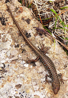 Ocellated Skink, Carinascincus ocellatus - 10th March 2008