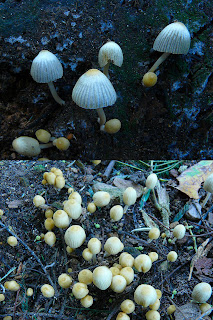 Fungus, Mt Wellington, Tasmania - 15 March 2007