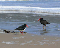 Pied and Sooty Oystercatchers, South Cape Bay - 6 Oct 2007