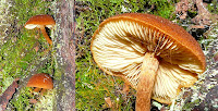 Fungi, Mt Wellington, Tasmania - 24th May 2008