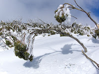 Eucalypts weighed down by snow, one had broken off; Mt Wellington - 18th August 2008