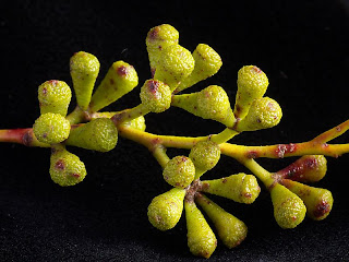 Buds of Eucalyptus coccifera, Hartz Mountains