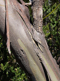 Bark of Eucalyptus coccifera, Hartz Mountains