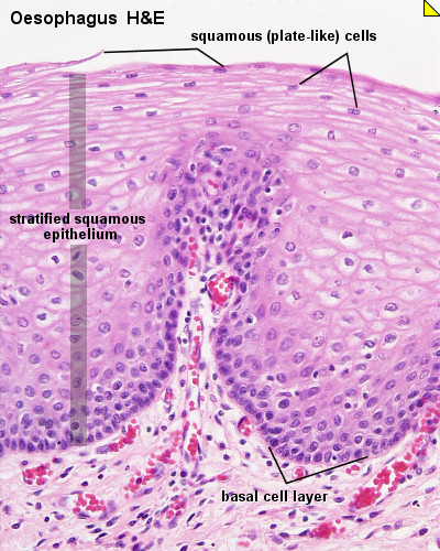 Kinds of Epithelial Tissues - Notes for Pakistan