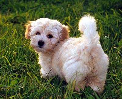 Havanese dog Puppies